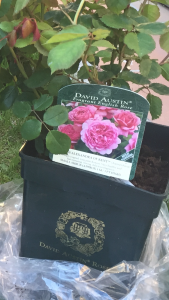 rosas David Austin